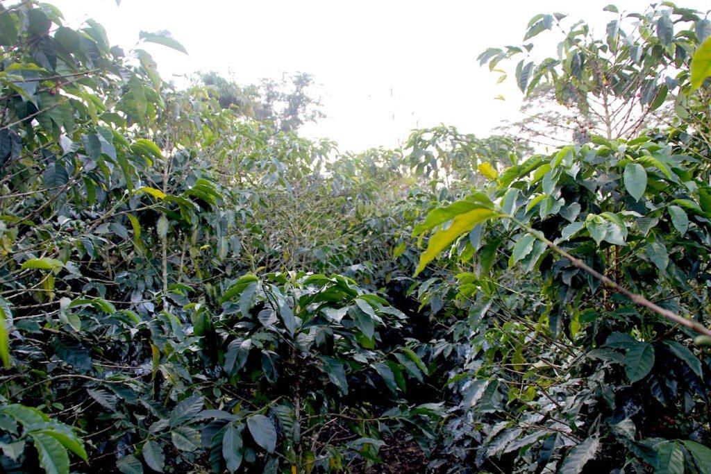 Bản chất thật sự của các giống cà phê qua xét nghiệm di truyền