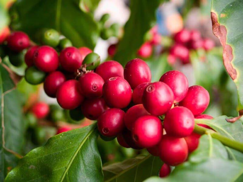Các giống cây cà phê