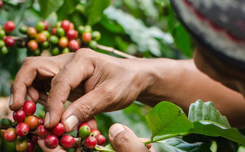 Khám phá những giống cây cà phê đặc trưng (Phần 2)