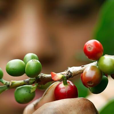 Khám phá những giống cây cà phê đặc trưng (Phần 3)