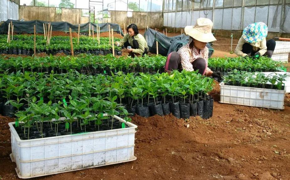 Introducing climate-resilient coffee hybrids in Vietnam